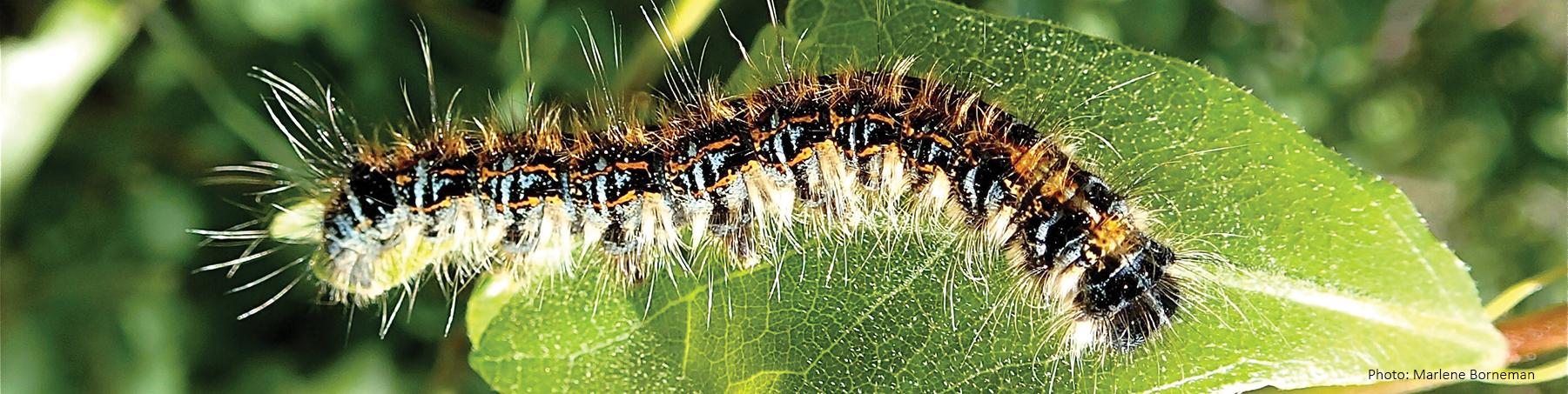 Caterpillar MBorneman