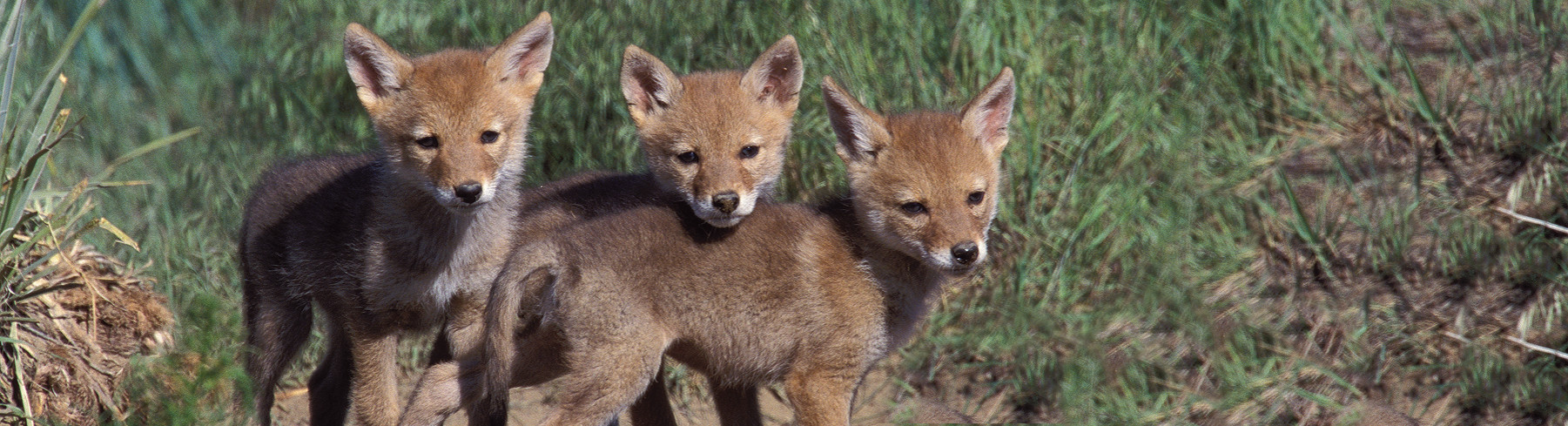 Coyote pups Lee Kline