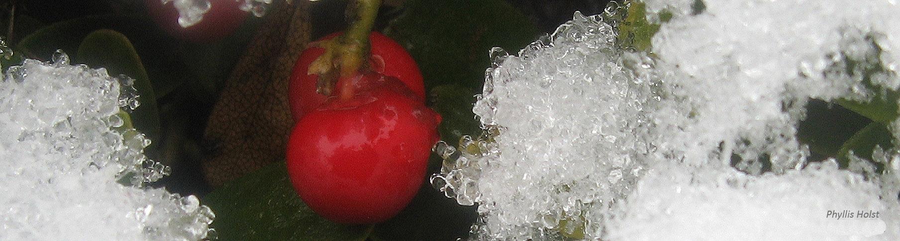 Kinnikinnick berries PHolst