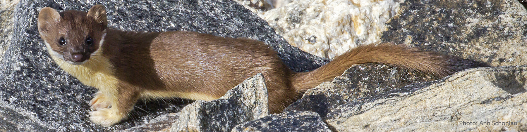 Long-tailed Weasel ASchonlau
