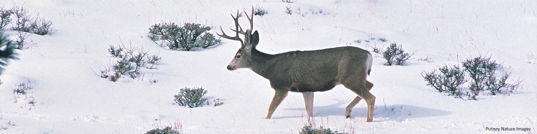 Mule deer snow G Putney f