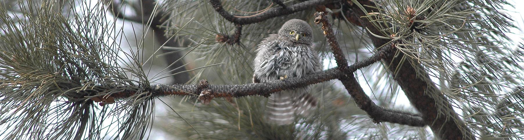 Pygmy owl D. Coe