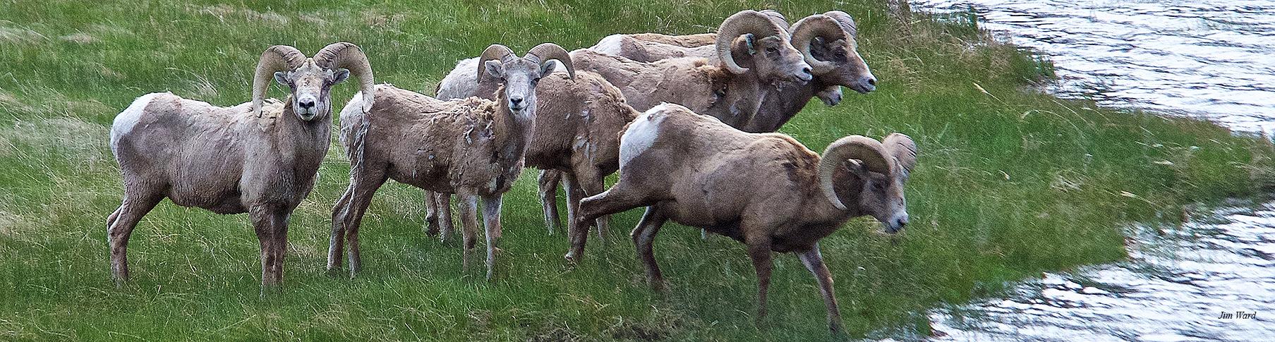 Sheep herd JWard