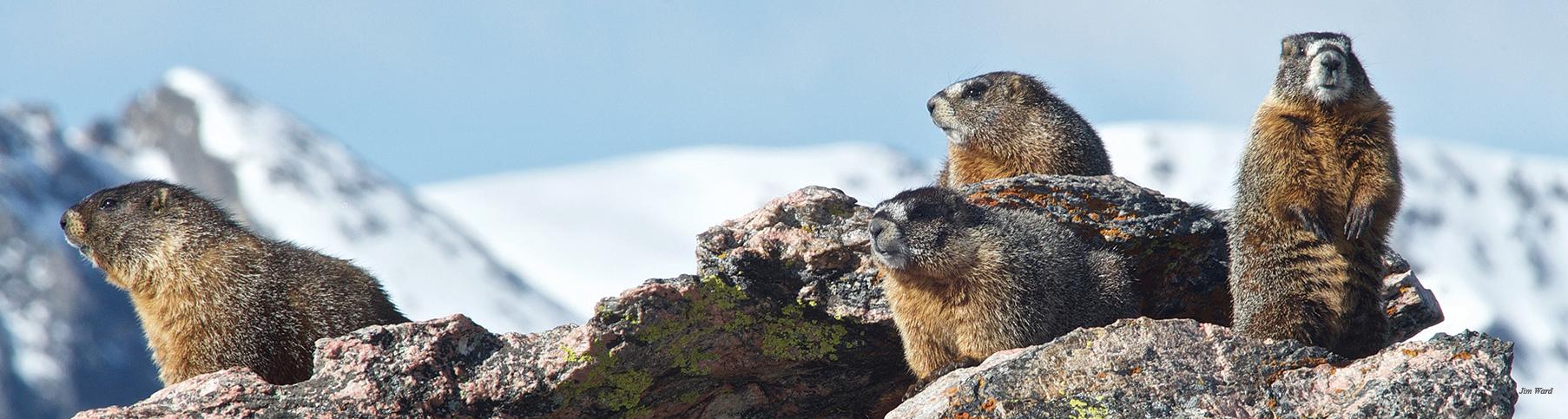 TRR Marmots JWard