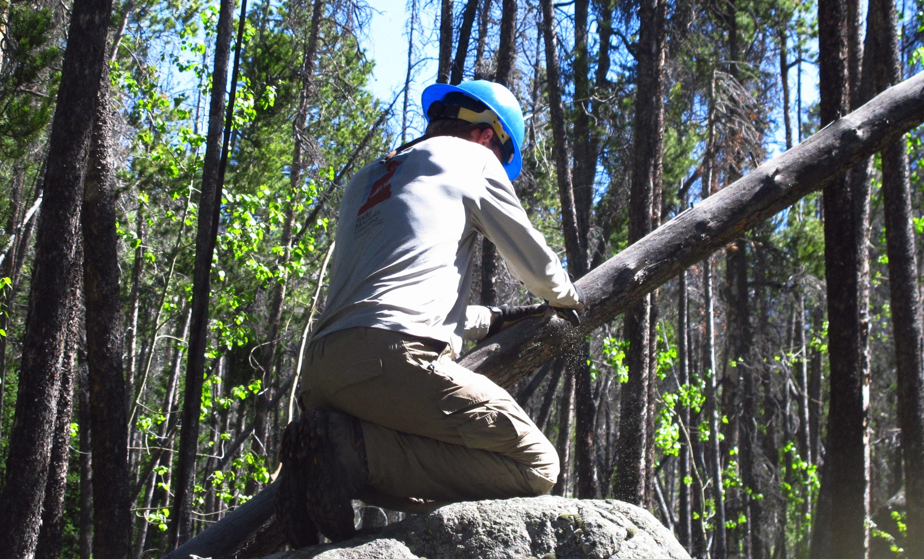 Aidan using the Silky to remove a hazard tree.